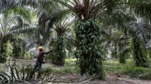 Indian buyers slash Malaysian palm oil purchases fearing duty hike - traders