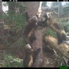 Watch baby wolverines scamper as the species returns to Mount Rainier after 100 years