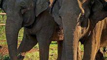 El emotivo reencuentro de la elefanta Mara con una ¿vieja? amiga