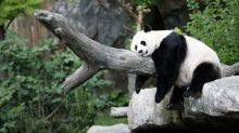 Fingers crossed! Washington zoo hopes to get panda pregnant again