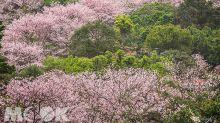 滿山盛開櫻花林 櫻木花廊私房景點