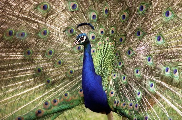 Exotic bird inspires cheaper light-based camouflage design