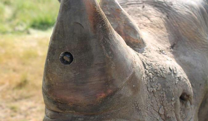 Rhino horn cameras promise to catch poachers in the act