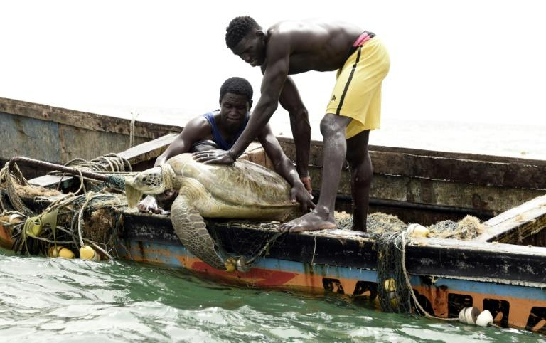 Senegalese fishermen rescue a sea turtle from their nets and return it to the sea (AFP Photo/Seyllou)