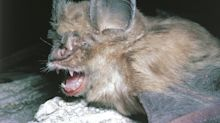 Experts think the Wuhan coronavirus jumped from bats to snakes to people. Bats have been the source of at least 4 pandemics.