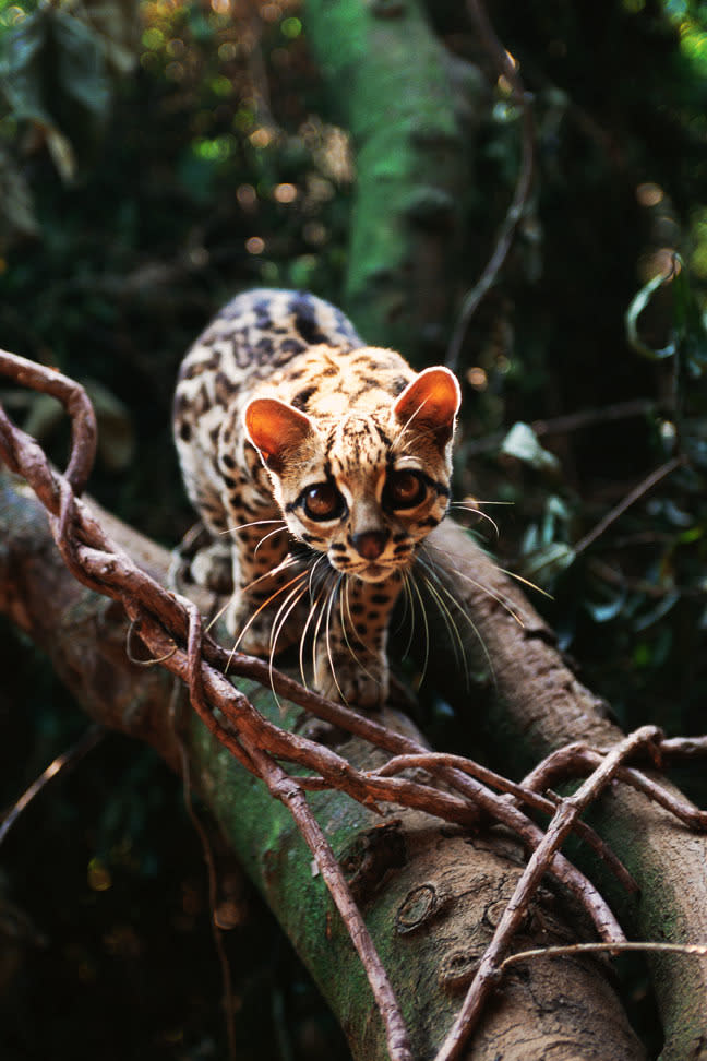"""<p><strong>What is it? </strong>The margay is a solitary and nocturnal small cat native to Central and South America that has been listed as """"Near Threatened"""" by the IUCN since 2008.<br /> <strong>Size:</strong> Body length 19 to 31 inches, and a tail length of 13 to 20 inches.<br /> <strong>Lives:</strong> From southern Mexico, throughput Central America and in northern South America east of the Andes.They are found almost exclusively in areas of dense forest.<br /> <strong>Eats:</strong> Small mammals (sometimes including monkeys), birds, eggs, lizards and tree frogs, guinea pigs.<br /> <strong>Fun fact:</strong> May spend its entire life in the trees, leaping after and chasing birds and monkeys through the treetops. It is one of only two cat species with the ankle flexibility necessary to climb head-first down trees (the other being the clouded leopard). Its ankles can turn up to 180 degrees, and it's able to jump up to 12 feet horizontally.</p>  <p></p>"""