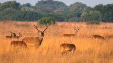 Demuestran que el cambio climático afecta a reproducción del ciervo en Doñana