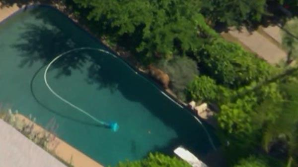 Bear crashes pool party in CA
