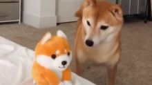 Shiba Inu gets frightened by talking Shiba Inu toy