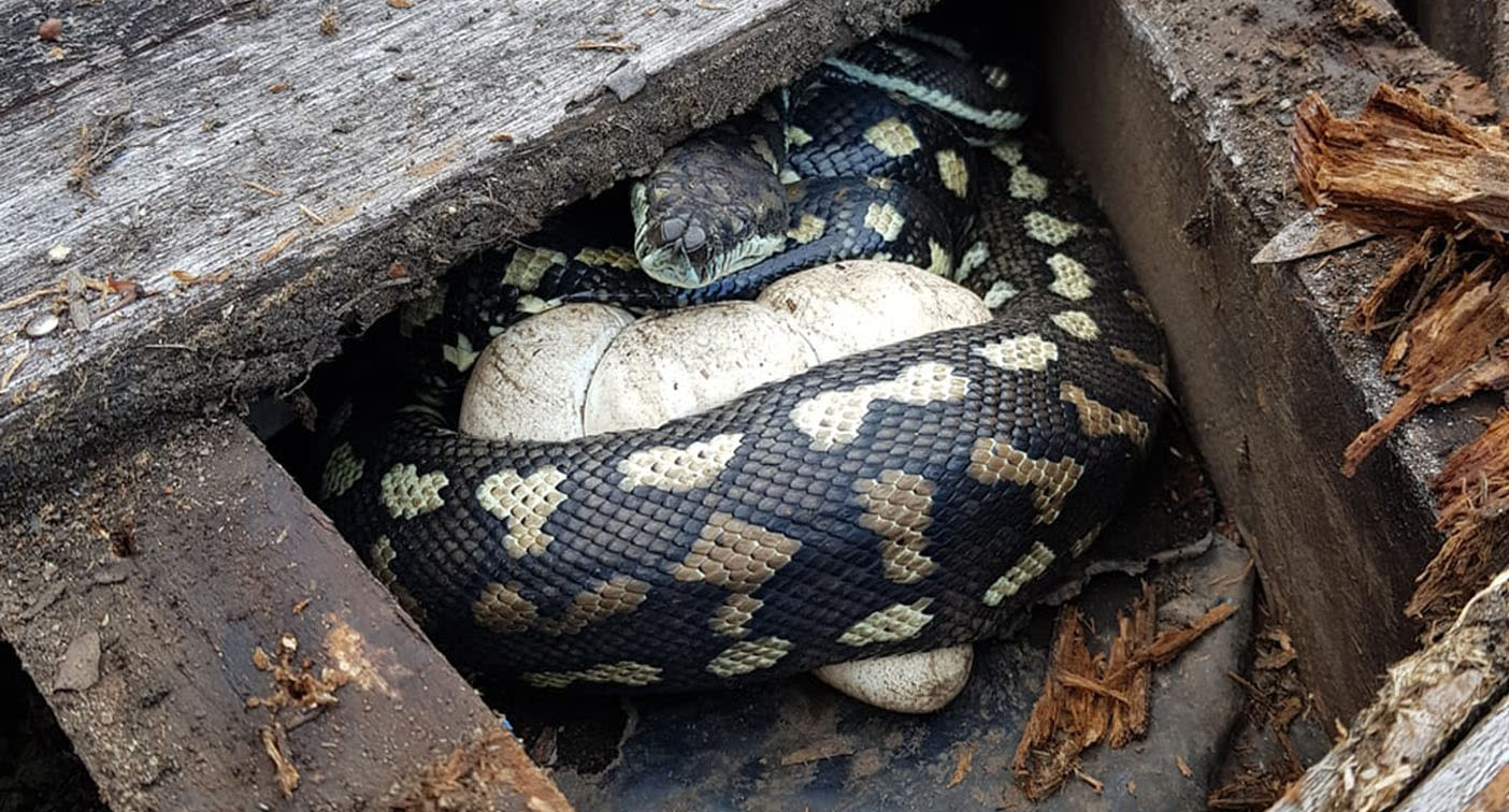 Snake catcher's warning over pythons protecting their eggs