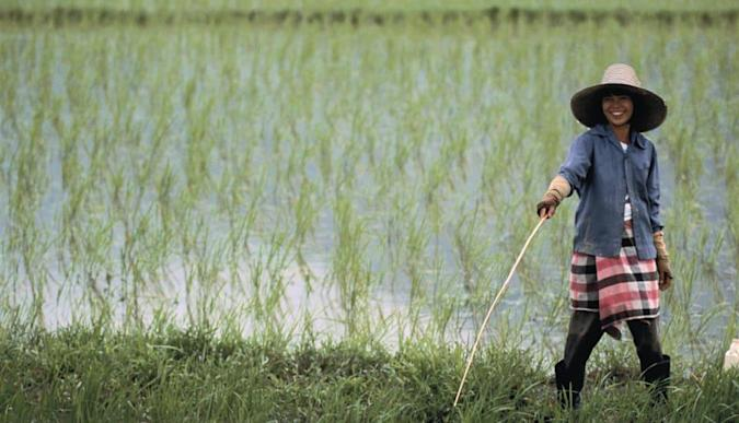 Modified rice plant produces more grain, less methane