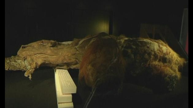 39,000-year-old woolly mammoth carcass arrives in Japan