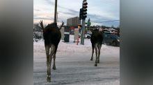 Only In Alaska: Moose Spotted Using Crosswalk