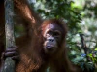 Your favourite snacks are reportedly destroying 'the orangutan capital of the world' – but companies like Nestlé outright deny the allegation