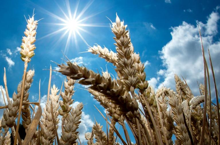 A picture taken on July 6, 2018 shows the bright sun shining over a wheat field in Giesen, northern Germany
