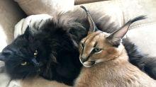 PHOTOS: This couple owns a caracal cat