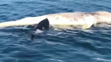 Boat passengers shocked as great white feasts on whale