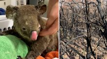 Revealed: The biggest challenge to saving fire-ravaged koala population
