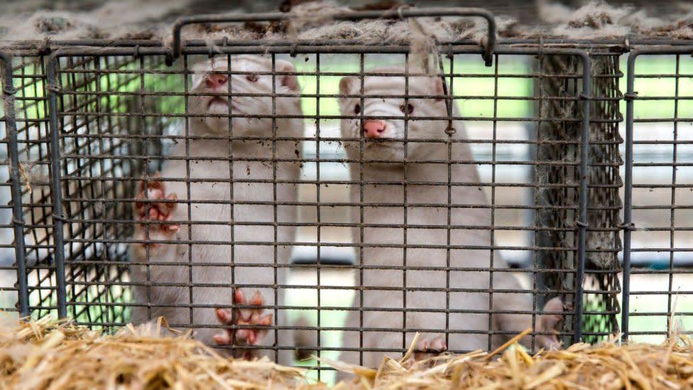 'Mutant coronavirus' seen before on mink farms, say scientists