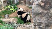 Zoo menschenleer - Pandas paaren sich