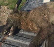 Mysterious wolf-like creature shot in US baffles experts: 'We have no idea'