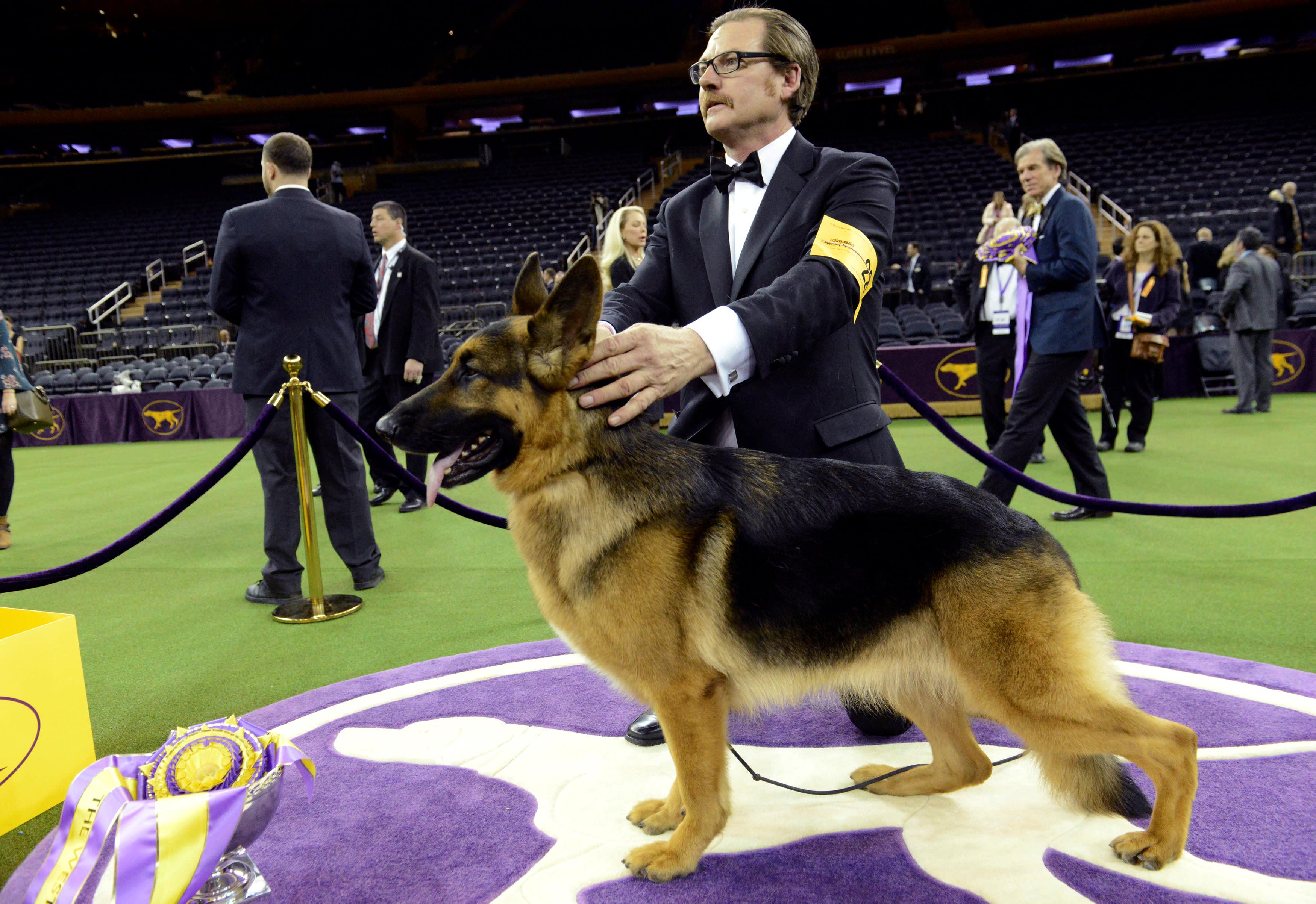 German Shepherd Show Dog Winner