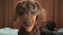 Dachshund barks at completely harmless object