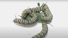 Las orugas de mariposas monarca se vuelven violentas por la falta de comida