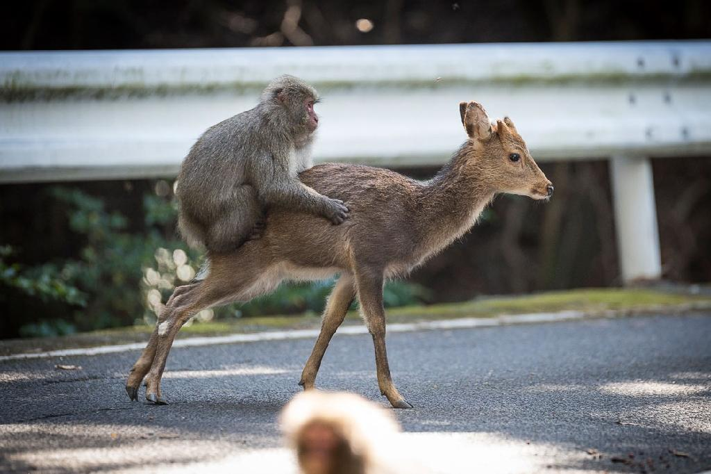 A Japanese macaque can be seen engaging in rare inter-species sexual behaviour with a female sika deer in a video filmed in Yakushima, Japan