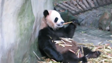 Pair of Pandas From China Arrive in Berlin Zoo