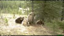 Bears caught on tape battling for tree in Canada park