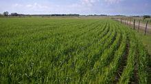 Environnement : l'Argentine devient le premier pays à autoriser du blé OGM