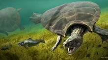 Giant, car-sized turtles once roamed South America, and scientists have the fossils to prove it