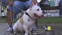 More than a thousand bully breeds compete at Kearny Park