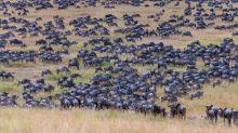 Finden Sie das Zebra unter all den Gnus?