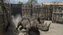 Two rhinos die in Chad after being relocated from S.Africa