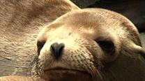 Starving Sea Lion Pups Fill Calif. Rescue Center