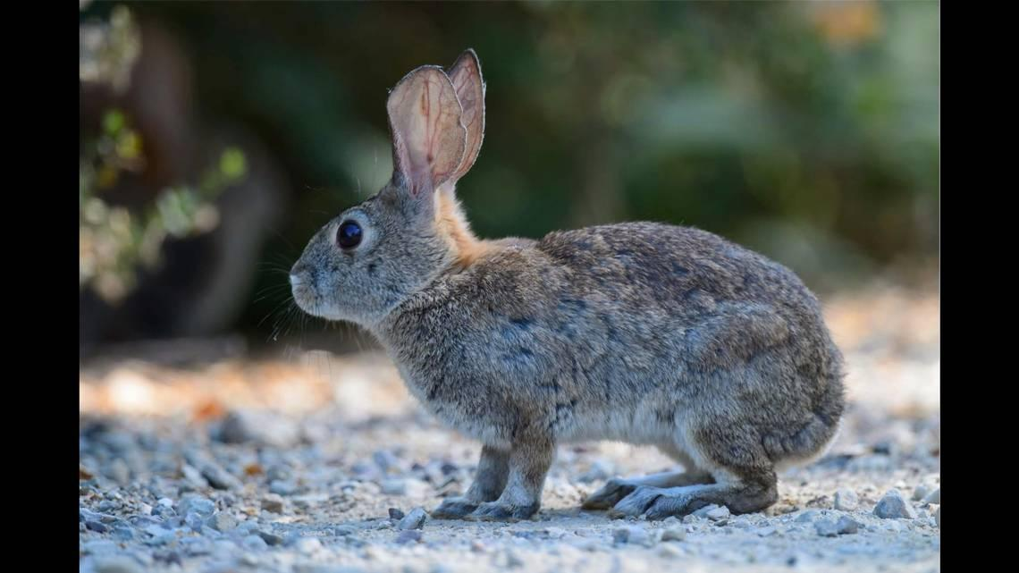 'Bunny ebola' burning through rabbit populations across US. Why experts are worried