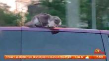 Cat clings to roof of van as it barrels down highway