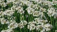 Gardening tips: plant garlic chives - the herb that keeps on giving