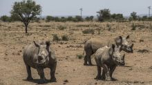 MTN, IBM to Combat Rhino Poaching With Collars for Prey Animals