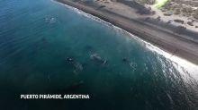 En pandemia, ballenas danzan frente a costa argentina
