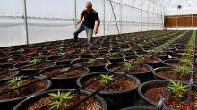 One Cannabis Company That's Soaring as Pot Stocks Crash