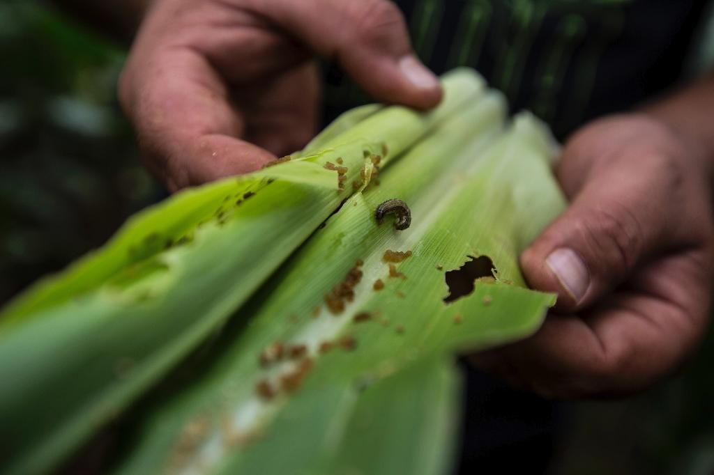 A 'huge threat to food security', fall armyworm has made its way to Rwanda (AFP Photo/GULSHAN KHAN)