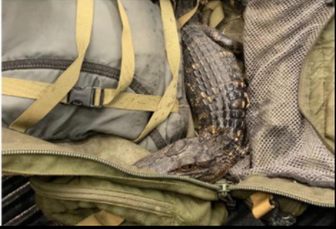 Young alligator found in man's backpack during traffic stop, South Carolina cops say