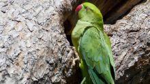 L'Europa ha un problema con i pappagalli parrocchetti