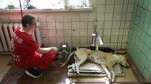 La herencia maldita de los perros de Chernóbil