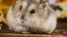 How hamsters are helping scientists tackle obesity