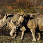 South African rhino rancher asks court to permit horn sale