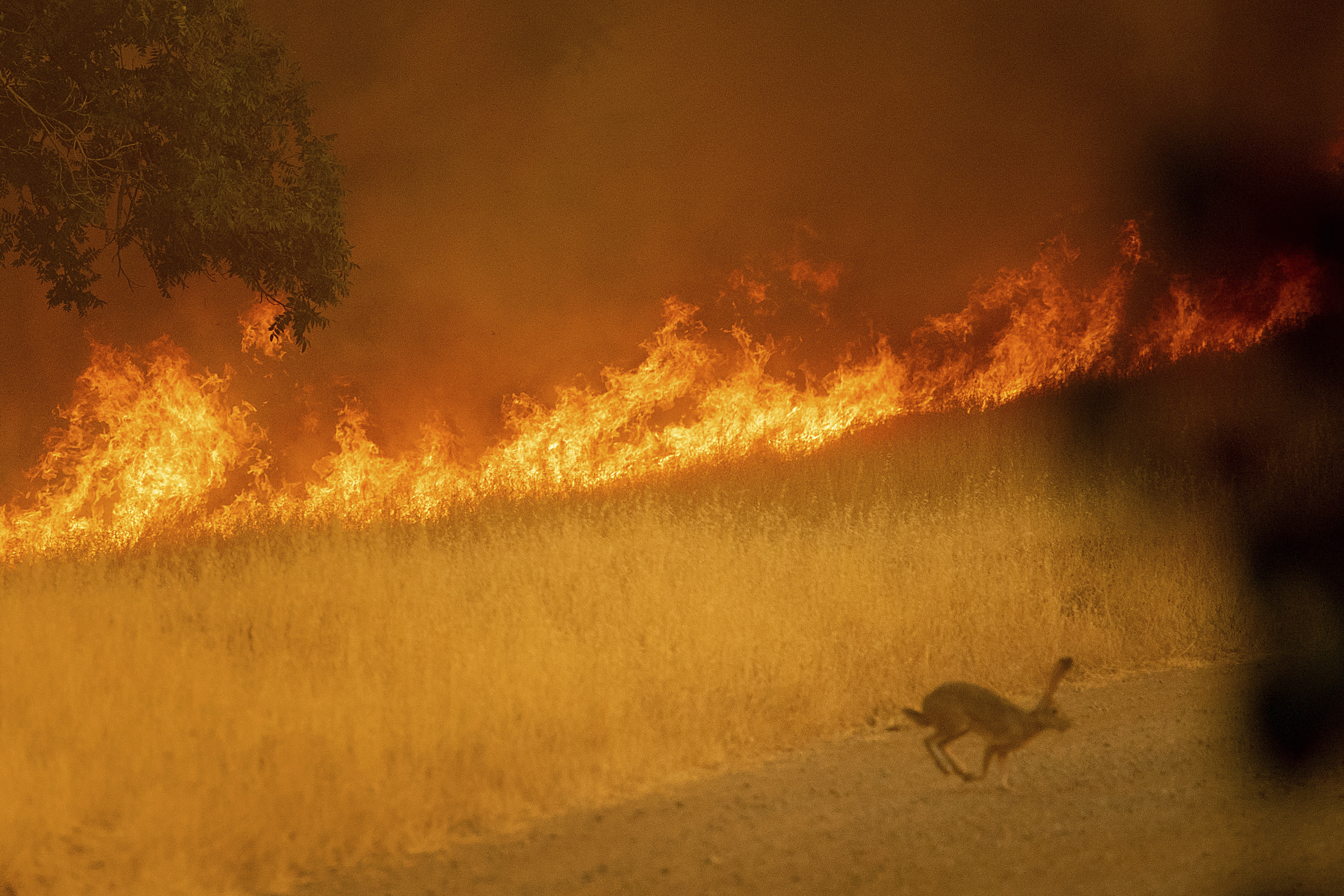 <p>A rabbit flees as a wildfire burns in Guinda, Calif., July 1, 2018.(Photo: Noah Berger/AP) </p>
